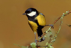 Male Great tit (Parus major). England, UK, Europe  -  WILLIAM OSBORN