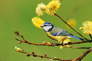 Blue Tit portrait in spring (Parus caeruleus) Wiltshire, UK. perched in flowering sallow.  -  WILLIAM OSBORN