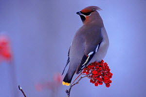 Waxwing on berries. Winter. Finland  -  Seppo Valjakka