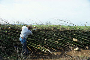 Hedgelaying competition, Oxfordshire, England. March 1996. Cut and laid hedge  -  HUGH WARWICK