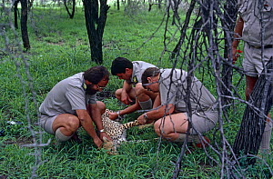 Cheetah {Acinonyx jubatus} tranquilized by state vets treating injury, Kruger NP, South Africa - Richard Du Toit