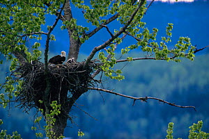 American bald eagle with chicks at nest (Haliaeetus leucocephalus) British Colombia, Canada - Louis Gagnon