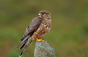 Female Merlin perched on rock. North Yorkshire, UK - David Kjaer