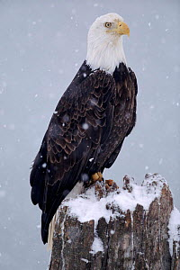 American Bald Eagle perched in snow, Alaska  -  Lynn M Stone