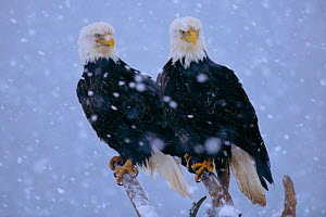 American Bald Eagles (Haliaeetus leucocephalus) perched in snow  Alaska  -  Lynn M Stone