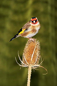 Goldfinch (Carduelis carduelis)  feeding on Teasel seedhead, UK  -  WILLIAM OSBORN
