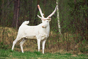 Albino white Reindeer in June (Rangifer tarandus) Sweden  -  Mike Wilkes