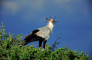 Secretary bird in tree top Masai Mara, Kenya  -  Mike Wilkes