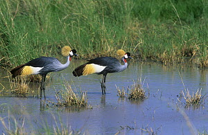 Two Crowned cranes (Balearica pavonina) standing in shallow water, Tanzania - Mike Wilkes