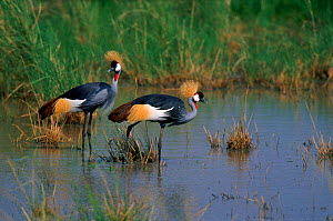 Crowned cranes at water. Tanzania.  -  Mike Wilkes