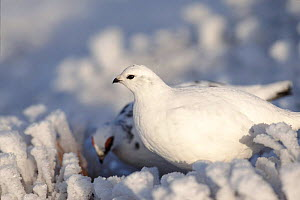 Rock ptarmigan pair in snow. Scotland Caingorms UK Europe - David Kjaer