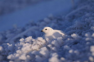 Female Rock ptarmigan in snow. Scotland Caingorms UK Europe - David Kjaer