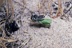 Silver leafcutter bee carrying leaf to nest (Megachile leachella) UK. - PREMAPHOTOS