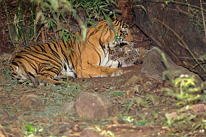 Tiger (Panthera tigria) female known as 'Sita' with litter of cubs (4-6 wks old) born Sept 1996. Bandhavgarh NP, India  -  E.A. KUTTAPAN
