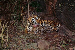 Tiger (Panthera tigris) female known as 'Sita' with litter of cubs (4-6 wks old) born Sept 1996. Bandhavgarh NP, India  -  E.A. KUTTAPAN