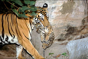Tiger female 'Sita' carrying 4-6 week-old cub born September 1996 in Bandhavgarh National Park, India. Her sixth litter.  -  E.A. KUTTAPAN