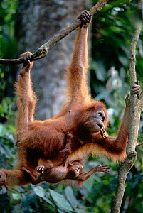 Female orang utan mother with 7-month-old baby hanging in tree (Pongo abelii) Leuser NP Indonesia  -  Anup Shah