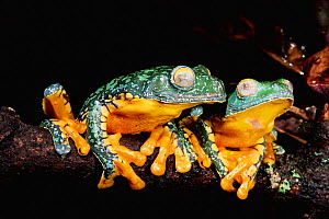 Leaffrogs in tropical rainforest, Yasuni NP, Ecuador (Agalychnis craspedopus) South America - Pete Oxford