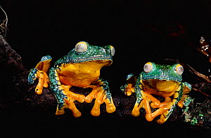 Leaf Frogs Yasuni NP, Ecuador (Agalychnis craspedopus) South-America - Pete Oxford