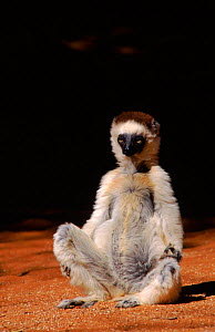 Verreaux's Sifaka, Madagascar, Berenty Private Reserve.  -  Pete Oxford