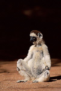Verreaux's Sifaka (Propithecus verreauxi) in Madagascar. Berenty Private Reserve.  -  Pete Oxford