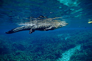 American alligator underwater. Silver Springs, Florida, USA  -  Peter Scoones