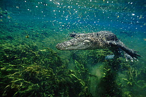 American alligator underwater. Florida, USA  -  Peter Scoones