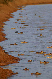 Concentration of spectacled caiman due to retreating water in dry season, Venezuelan Llanos  -  RICHARD KIRBY
