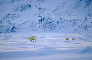 Polar bear female walking with cubs following, Svalbard, Norway.  -  Mats Forsberg