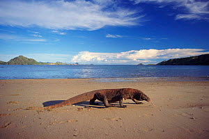 Komodo dragon on beach, Komodo Is (Varanus komodoensis) Indonesia - Michael Pitts