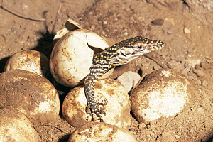 Komodo dragon {Varanus komodoensis} hatching from egg, Komodo Island, Indonesia. - Michael Pitts