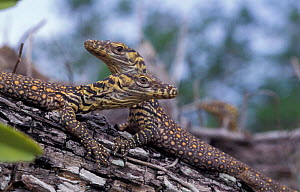 Komodo dragons, 2-day-old (V. komodoensis) Hatchlings climb trees to avoid being eaten by predators. - Michael Pitts