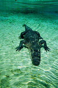 American alligator underwater (alligator mississippiensis) Florida  -  Peter Scoones