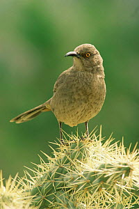 Curve billed thrasher {Toxostoma curvirostre} perching on cactus, Sonoran Desert, Arizona, USA.  -  John Cancalosi