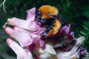 Bumble bee (Bombus dahlbomii) on legume flower. Southern beech, forest, Argentina, South America - PREMAPHOTOS