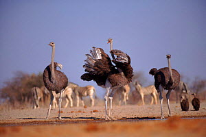 Ostrich male and female courtship behaviour (Struthio camelus) Etosha NP, Namibia  -  Tony Heald