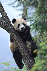 Giant panda eating in tree. Wolong Nature Reserve, China, Sichuan Captive. - Lynn M Stone
