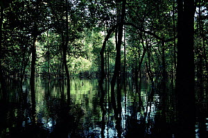 Interior of flooded forest, Tefe, Amazonia, Brazil. - JIM CLARE