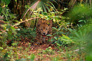 Jaguar (Panthera onca) in undergrowth. Belize, Central America - Lynn M Stone