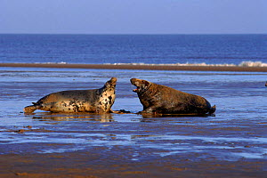Grey seal male and female hauled up on beach, Humberside, UK (Halichoerus grypus)  -  Mike Wilkes
