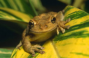 Cuban tree frog (Osteopilus septentrionalis) native of West Indies introduced into Florida, USA - Steven David Miller
