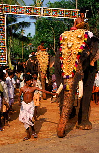 Decorated Indian elephant led in festival procession, Kerala, Southern India  -  Ross Couper-Johnston