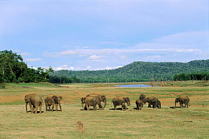Indian elephant herd grazing Kabini NP Southern India - Lockwood & Dattatri