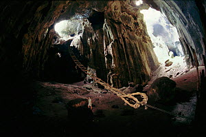 Gomantong caves - collecting site for Cave swiftlet nests, Sabah, Borneo, Malaysia.  -  Jurgen Freund