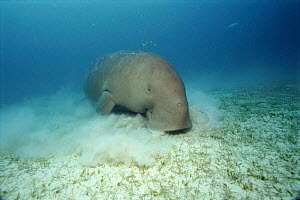 Dugong foraging on seabed. Indo-Pacific - Jurgen Freund