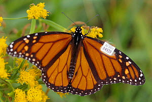 Monarch butterfly with tagged wing - migration study (Danaus plexippus) New Jersey USA  -  Doug Wechsler