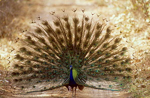 Common Peacock (Pavo cristatus) male displaying, Ranthambore NP, India - Bernard Castelein