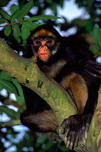 Yellow Bellied Spider Monkey (Ateles belzebuth belzebuth) Amazonian Ecuador South-America  -  Pete Oxford