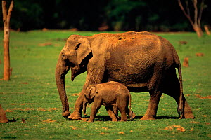 Indian Elephant (Elephas maximus) mother and baby Kabini N.P India. - Lockwood & Dattatri