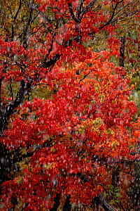 Early snow fall in autumn woodland. Michigan, USA  -  Larry Michael